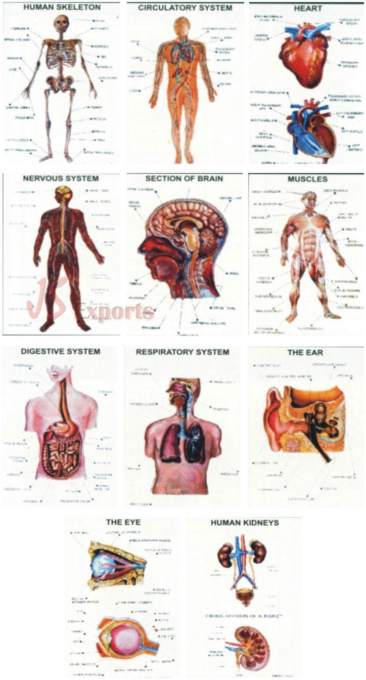 Biology Lab Educational Equipment, Biological Models, Anatomical ...